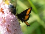 Psodos quadrifaria (Gelbgebänderter Flachstirnspanner) / CH BE Hohgant 1847 m, 30. 07. 2012