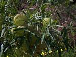 Asclepias fruticosa (Baumwoll-Seidenpflanze) / Asclepiadaceae