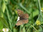 Hamearis lucina (Frühlings-Scheckenfalter) / CH OW Pilatusgebiet Wängen 1550 m, 21. 06. 2014