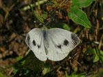 Pieris mannii (Karstweissling, Weibchen Herbstgeneration) / CH BE Hasliberg 1050 m, 10. 08. 2013