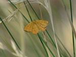 Idaea aureolaria (Goldgelber Magerrasen-Zwergspanner) / CH VS Saas Almagell, Moosgufer 1900 m, 21. 08. 2013