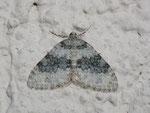 Entephria cyanata (Blaugrauer Gebirgs-Blattspanner) / CH BE Hasliberg 1240 m, 13. 10. 2013