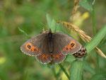 Erebia ligea (Weissbindiger Mohrenfalter, Weibchen) / CH BE Hasliberg 1240m, 27. 07. 2014