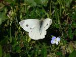 Pieris mannii (Weibchen beim Ausruhen nach der Eiablage) / CH BE Hasliberg 1050 m, 20. 04. 2015