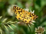 Pseudopanthera macularia (Fleckenspanner oder Pantherfalter) / CH TI Onsernonetal (Schweizerseite) 970 m, 25. 06. 2013