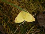 Opisthograptis luteolata (Gelbspanner) / CH BE Hasliberg 1240 m, 18. 04. 2014