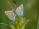 Polyommatus icarus (Hauhechelbläuling, Paarung) / CH OW Giswil Usser Allmend 492 m, 20. 05. 2014