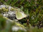Colias palaeno (Hochmoor-Gelbling) / CH VS Grimsel 2186 m, 07. 07. 2017