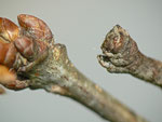 Hypomecis roboraria (Grosser Rindenspanner) / CH BE Hasliberg, 05. 06. 2014
