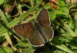 Lycaena tityrus (Brauner Feuerfalter, Männchen) / CH BE Hasliberg, 03. 06. 2006