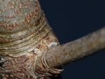 Nothocasis sertata (Ahorn-Lappenspanner) / CH BE Reichenbach i. K., 02. 01. 2020 an Acer pseudoplantanus