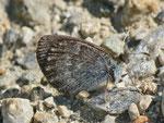 Erebia tyndarus (Schillernder Mohrenfalter / CH VS Bellwald Flesche 2064 m, 15. 08. 2013