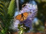 Danaus plexippus (Monarch) / Portugal Madeira Funchal, Meereshöhe, 08. 02. 2015