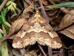 Erannis defoliaria (Grosser Frostspanner) / CH BE Hasliberg 1240 m, 10. 11. 2012