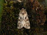 Pachetra sagittigera (Trockenrasen-Blättereule) / CH BE Hasliberg 1050 m, 23. 05. 2014