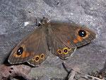 Lasiommata maera boeralis (Braunauge, Männchen) / CH OW Giswil 460 m, 09. 06. 201