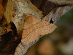 Colotois pennaria (Federspanner, Männchen) / CH BE Hasliberg 1050 m, 23. 10. 2015