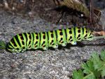 Papilio machaon (Schwalbenschwanz) / CH BE Hasliberg 1200 m, 26. 09. 2009