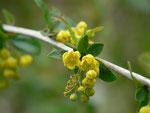 Berberis vulgaris (Berberitze) / Berberidaceae