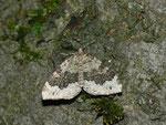 Colostygia olivata (Olivgrüner Bergwald-Blattspanner) / CH BE Hasliberg 1240 m, 10. 08. 2013