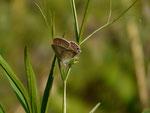 Lampides boeticus (Geschwänzter Blasenstrauchbläuling, Weibchen) / CH BE Hasliberg 1180 m, 23. 07. 2015