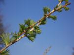 Larix decidua (Europäische Lärche) / Pinaceae