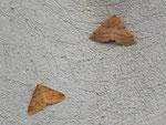 Colotois pennaria (Federspanner, oben) und Agriopis aurantiaria (unten) / CH BE Hasliberg 1050 m, 29. 10. 2015