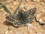Pyrgus onopordi (Männchen) / Spanien, Region Valencia, Alcoy - Benasau 1180 m, 04. 05. 2012