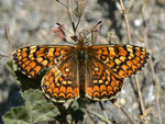 Melitaea deione magna (Weibchen) / E Provinz Andalusien, Granada-Lanjarón-Pampaneira, Sierra Nevada Nationalpark, Alpujarra 1200 m, 26. 04. 2012