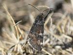 Archiearis parthenias (Birken-Jungfernkind, Männchen) / Italien Valle Veddasca, Forcora 1000 m, 30. 03. 2012