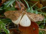 Erannis defoliaria (Grosser Frostspanner, Männchen in Schreckstellung) / CH BE Hasliberg 1050 m, 23. 10. 2015