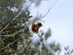 Nymphalis polychloros (Grosser Fuchs, Paarung) / E Andalusien, Sierra de Segura, Puerto del Pinar, Barranco Ciervo 1300 m, 22. 04. 2012