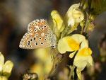 Polyommatus bellargus (Himmelblauer Bläuling, Weibchen) / CH BE Hasliberg 1070 m, 27. 09. 2018