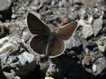 Aricia eumedon (Storchschnabel-Bläuling) /  CH VS Albinen Tschärmilonga Bradele 1914 m, 09. 06. 2017