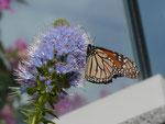 Danaus plexippus (Monarch) / Portugal Madeira Funchal, Meereshöhe, 27. 01. 2015