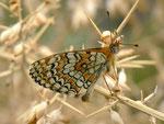 Melitaea deione / E Valencia, Segorbe, Parque Natural de la Sierre de l'Espadan 700 m, 19. 04. 2012