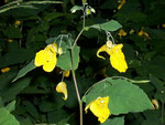 Impatiens noli-tangere (Rühr-mich-nicht-an) / Balsamicaceae