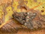 Mniotype adusta (Rotbraune Waldrandeule) / CH BE Hasliberg 1050 m, 27. 07. 2014