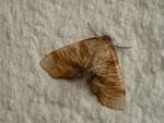 Plagodis dolabraria (Hobelspanner) / CH BE Hasliberg 1050 m, 09. 06. 2016