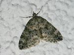 Chloroclysta miata (Bläulichgrauer Heidelbeer-Blattspanner) / CH GR Surselva Gamischolas (Dorfzentum an Lichtquelle)