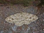 Ectropis crepuscularia (Rinden-Zackenbindenspanner) / CH BE Hasliberg 1150 m, 19. 04. 2013