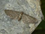Eupithecia valerianata (Baldrian-Blütenspanner) / CH BE Hasliberg 1050 m, 19. 06. 2019