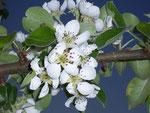 Prunus communis (Birne) / Rosaceae