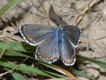 Polyommatus bellargus (Himmelblauer Bläuling, Weibchen) / CH VS Grimentz 1980 m, 11. 10. 2010
