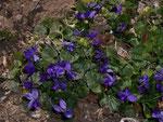 Viola odoroata (Wohlriechendes Veilchen) / Violaceae