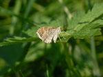 Xanthorhoe montanata (Schwarzbraunbinden-Blattspanner) / CH BE Hasliberg 1240 m (Eiablage an Geranium sylvaticum)