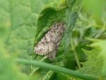 Lasionycta proxima (Graue Bergraseneule) / CH BE Enstlenalp 1870 m, 26. 07. 2013