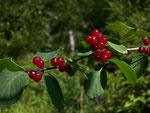 Lonicera xylosteum (Rote Heckenkirsche) / Caprifoliaceae
