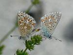Polyommatus bellargus (Himmelblauer Bläuling, Paarung) / CH BE Hasliberg 1075 m, 25. 05. 2011