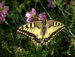 Papilio machaon (Schwalbenschwanz) / CH BE Hasliberg 1050 m, 22. 07. 2006